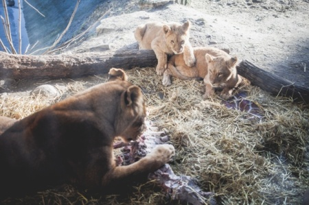 Copenhagen lions tuck into the final remains of Marius the Giraffe