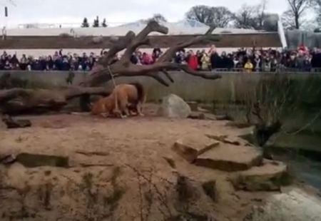 Løverne i Zoo spiser Marius